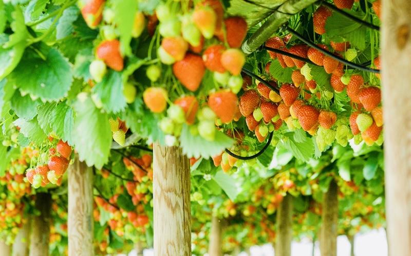 Beeren-Obst-Galerie